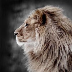 Tableau sur toile Lion de Profil