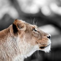 Tableau sur toile Lionne de Profil