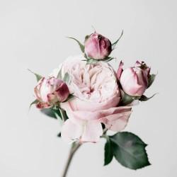 Tableau sur toile Roses