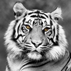 Tableau sur toile Tigre Noir et Blanc de Face